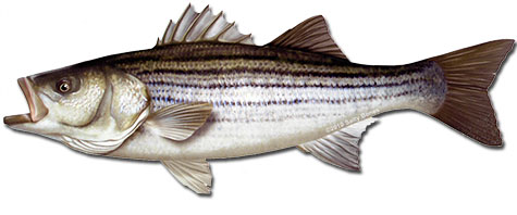 California striped bass association west delta chapter for Striper fish pictures
